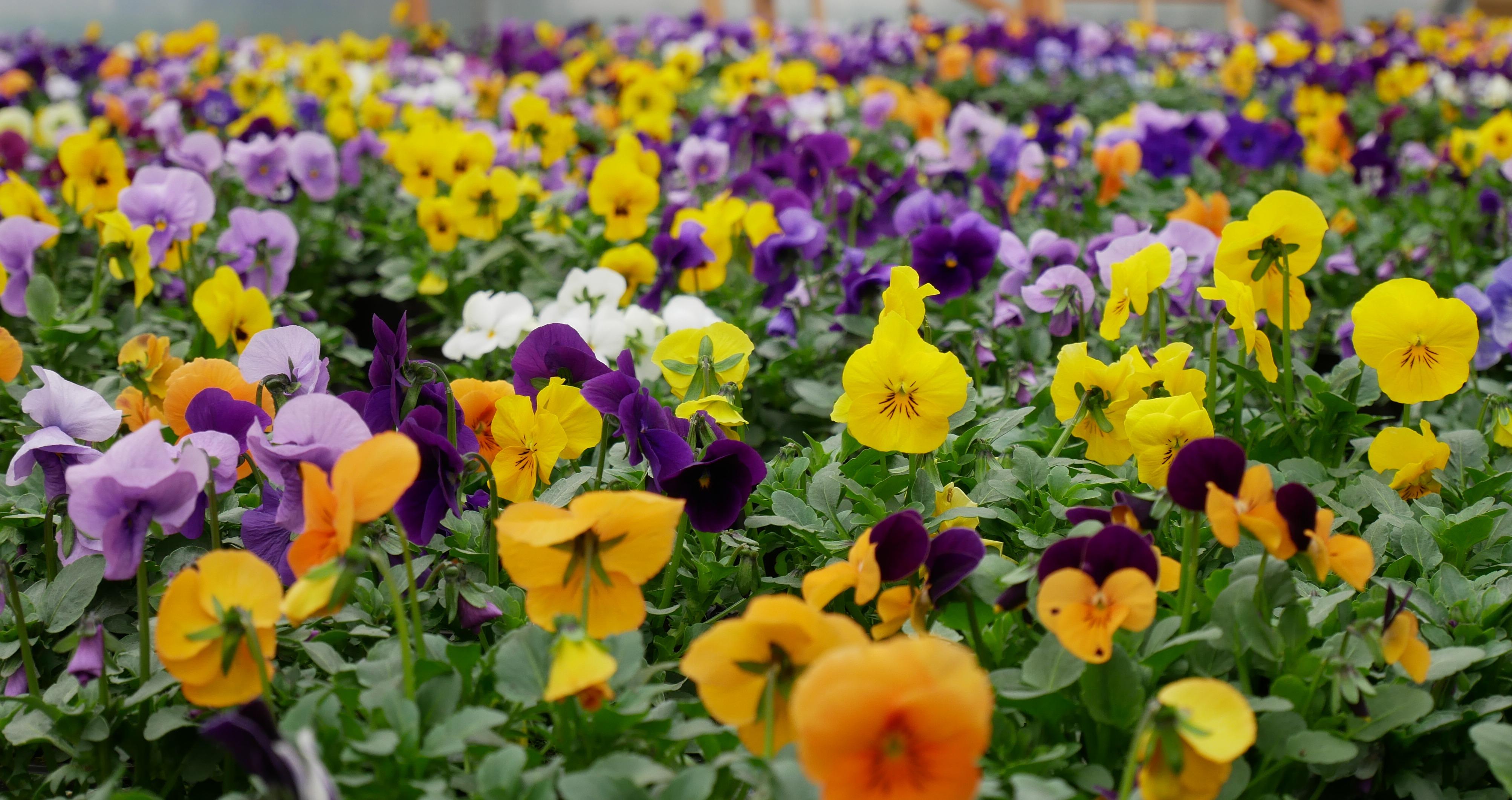 Dlaczego bratki są najlepszymi kwiatami na początek przygody z roślinami na balkonie?