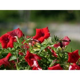 Petunia kaskadowa w kolorze czerwonym