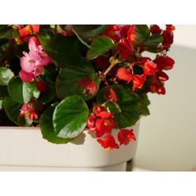 Begonia bogato kwitnie przez całe lato