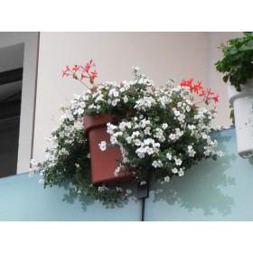 Bakopa kwitnie obficie w trakcie sezonu